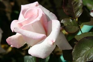 Heaven rose blossom