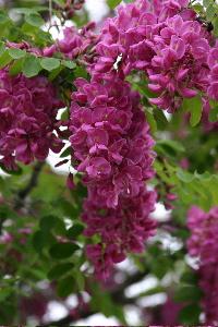 Idaho Locust bloom
