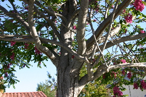 Idaho Locust branches