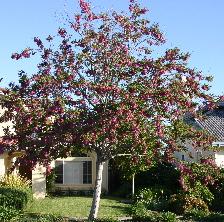Idaho Locust tree