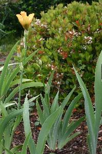 Mystery Iris plant