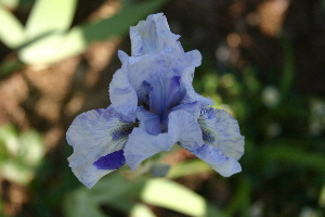 Online iris bloom