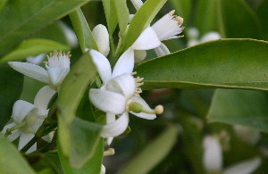 Orange blossom close-up