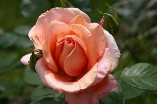 Sunset Celebration rose blossom