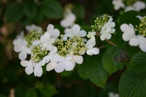 Snowflake Viburnum blossoms